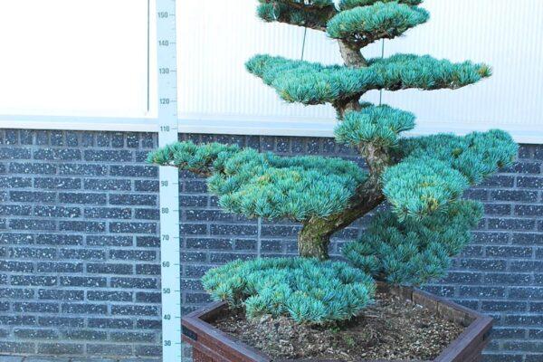 Pinus-parv.-Glauca_BONSAI-150-175-CM_2194911