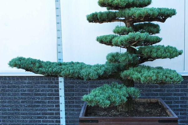 Pinus-parv.-Glauca_BONSAI-150-200-CONT_2010521