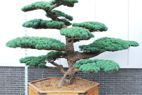 Pinus-parv.-Glauca_BONSAI-200-250-CONT_2519201