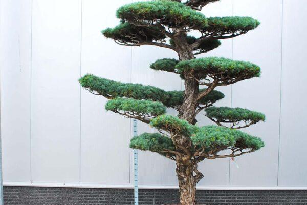 Pinus-parv.-Glauca_BONSAI-400-CONT_2092131