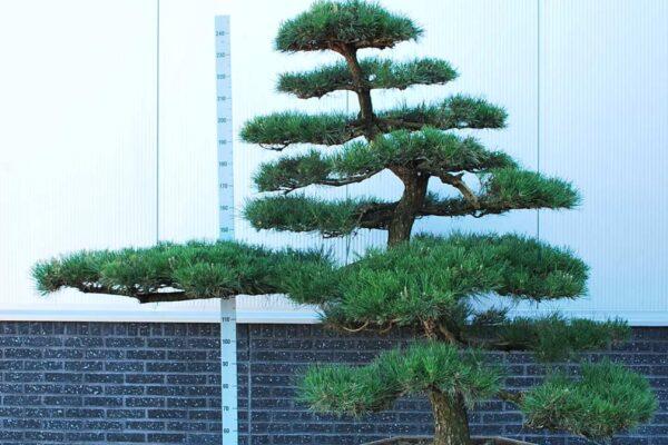 Pinus-thunbergii_BONSAI-150-175-CONT_2325151