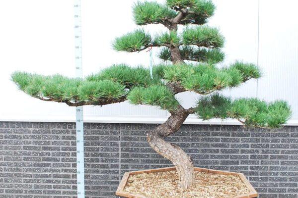 Pinus-thunbergii_BONSAI-200-CONT_2475891