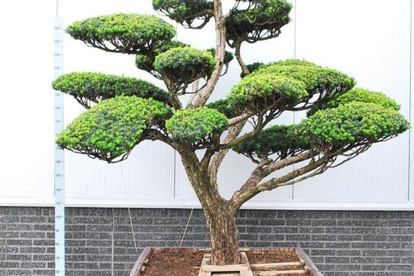 Taxus-cuspidata-nana_BONSAI-200-300-CONT_2014071